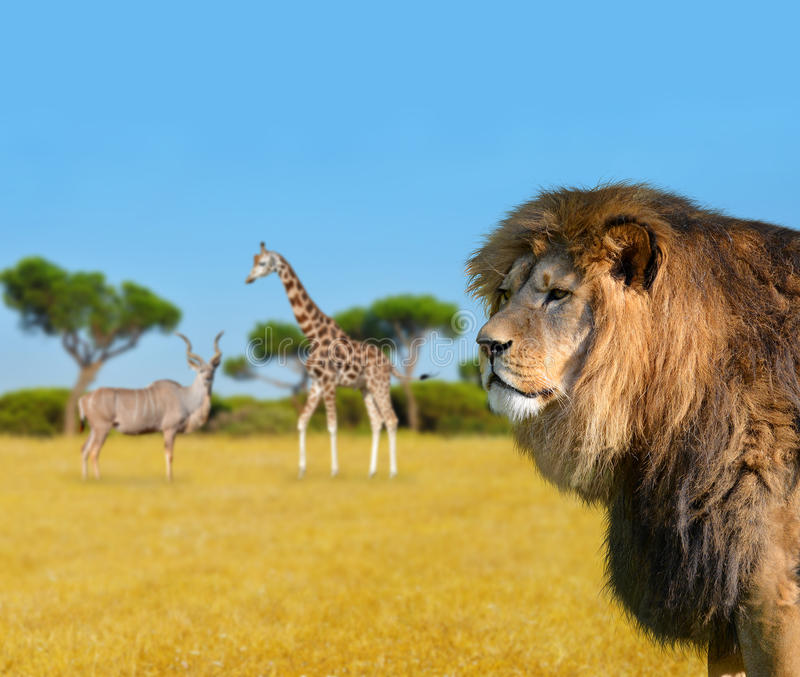 Stort lejon på savannah arkivfoto