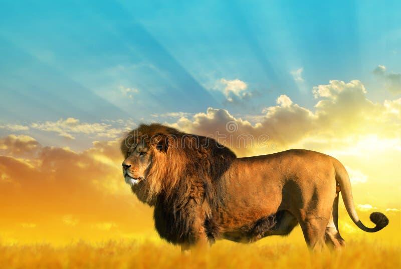 Stort manligt lejon på savannahen arkivfoton