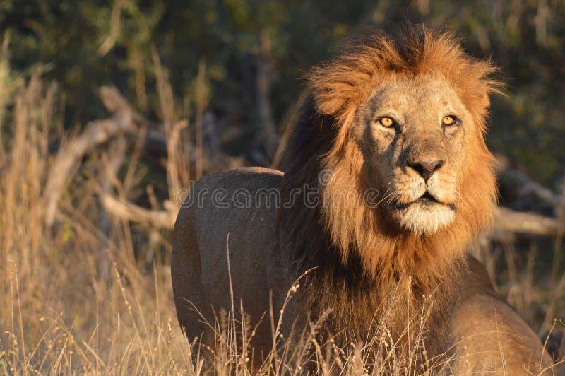 Stort manligt lejon (pantheraen leo) arkivbilder