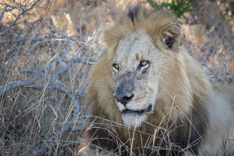 Stort manligt vila för lejon fotografering för bildbyråer