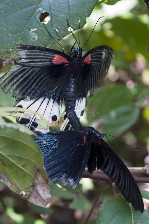 Stort para ihop för mormonfjärilar arkivfoton