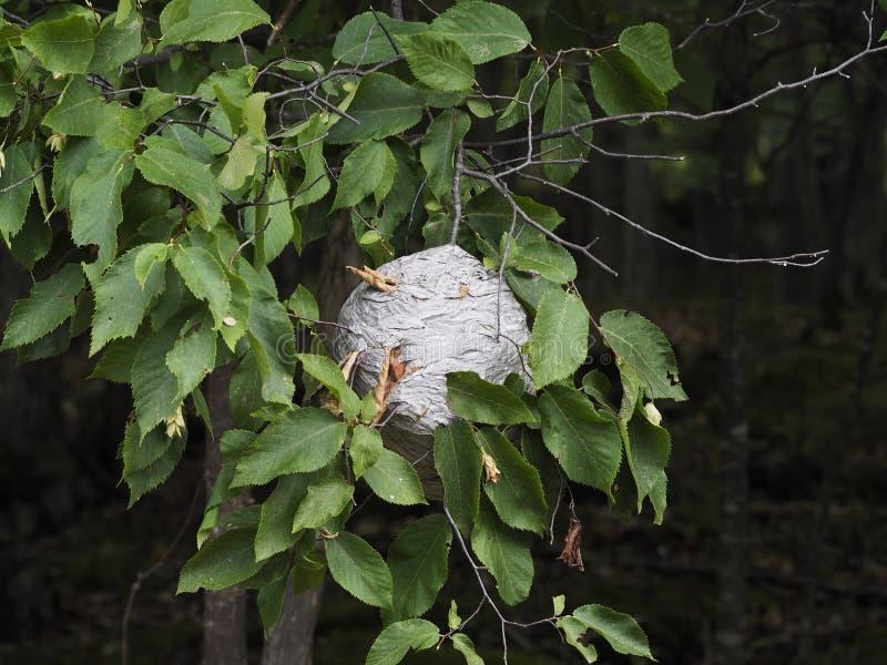 Stort rede av getingar som hänger från en trädfilial arkivbilder