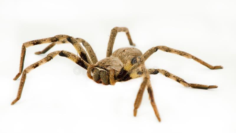 Stort regna spindeln arkivbild