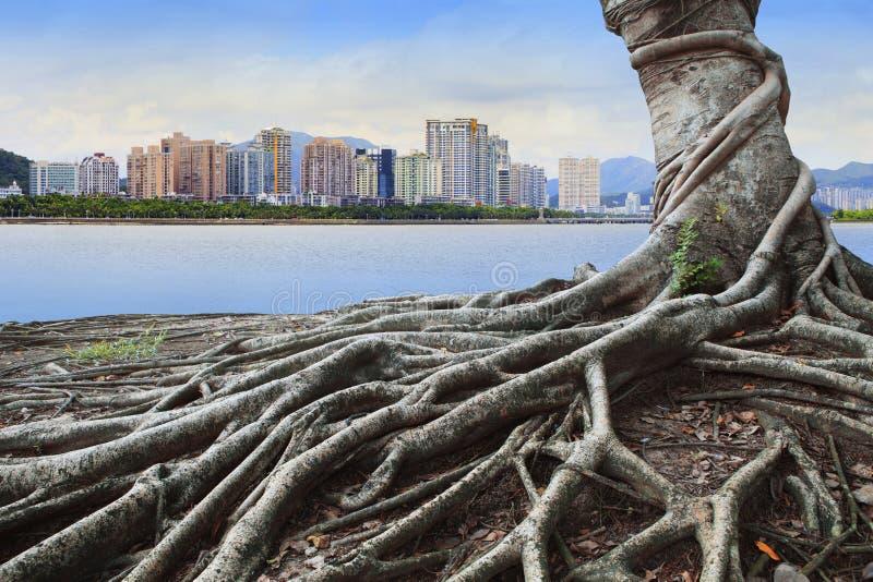 Stort rota trädet i framdel av skogen för stadsbyggnadsbegreppet, och stads- väx upp tillsammans royaltyfria foton