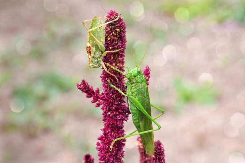 Stort sammanträde för gräshoppa två på amaranth royaltyfri foto