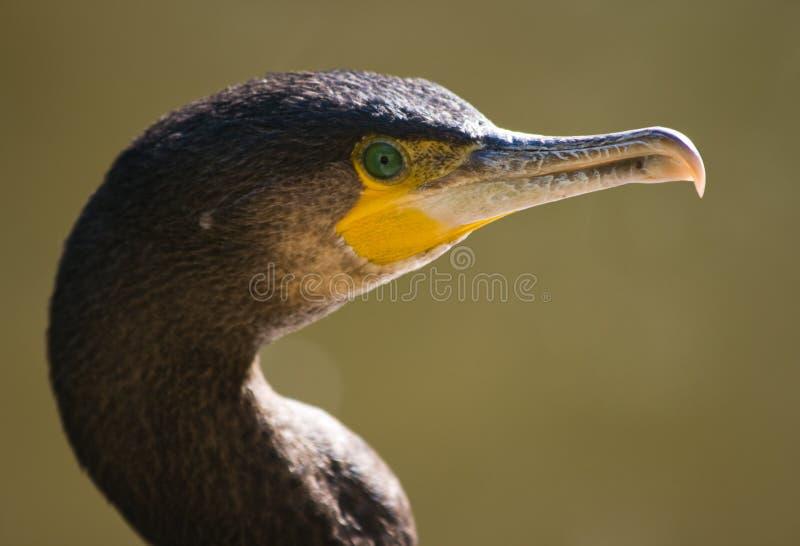 stort se för cormorant royaltyfri foto