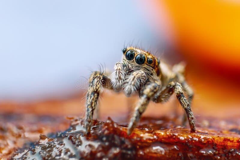Stort skott för slut upp av sebran som hoppar den spindelSalticus scenicusen med älskvärd bakgrund royaltyfria foton