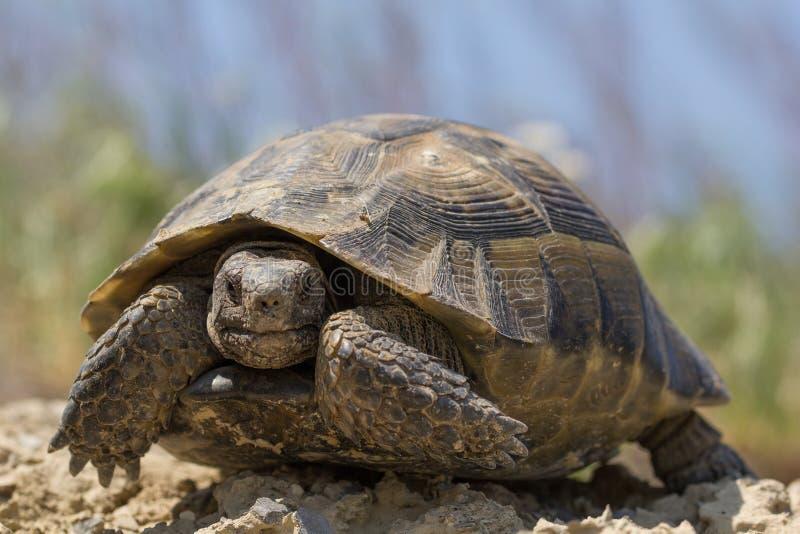 Stort sporra det thighed anseendet för sköldpaddaTestudograecaen i solen på en grön bakgrund royaltyfri foto