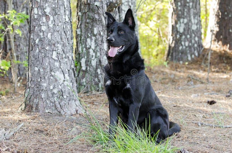 Stort svart för blandningavel för tysk herde sammanträde för hund, älsklings- räddningsaktion arkivfoto