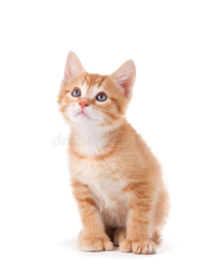 stort tafsar se för gullig kattunge orange upp arkivbild