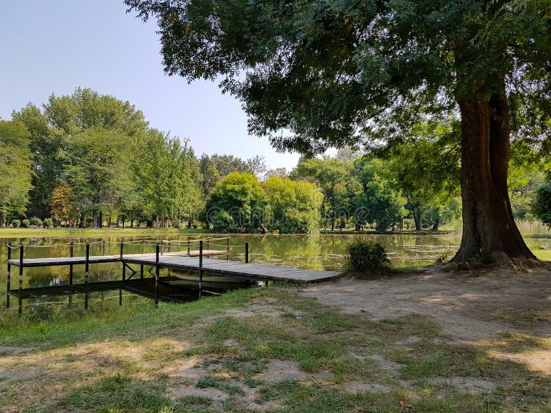 Stort träd av sidan av en sjö på en klar sommarmorgon fotografering för bildbyråer