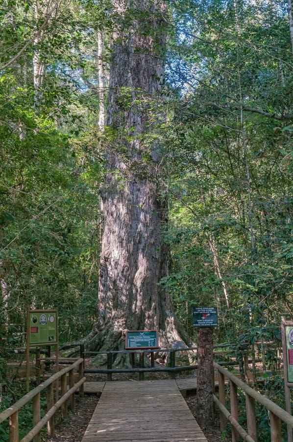Stort träd för konung Edward VII arkivbild