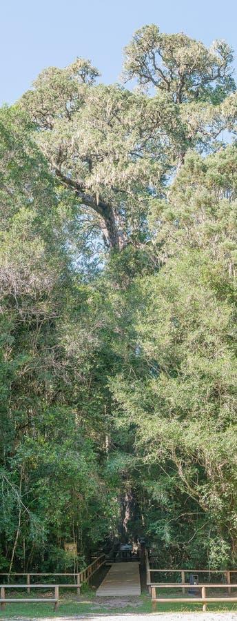 Stort träd för konung Edward VII royaltyfria foton