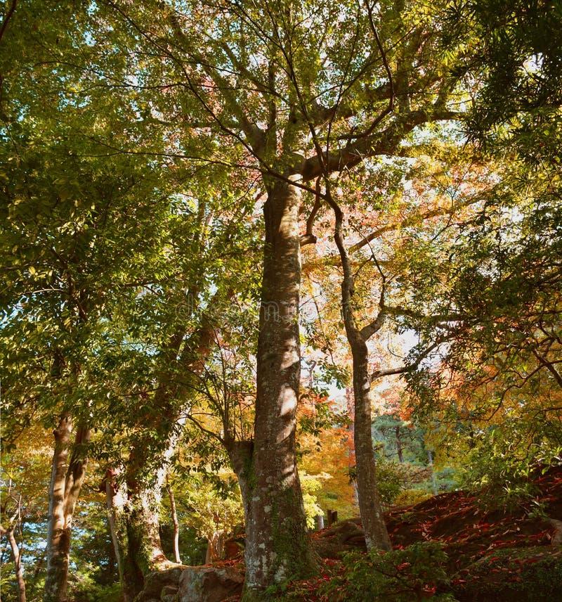 Stort träd i den Yoshikien japanträdgården, Nara, Japan fotografering för bildbyråer
