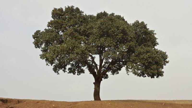 Stort träd i efterrätten arkivbild