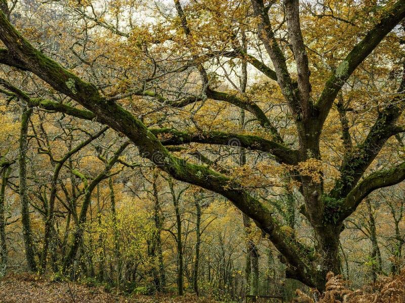 Stort träd i skogen royaltyfri bild