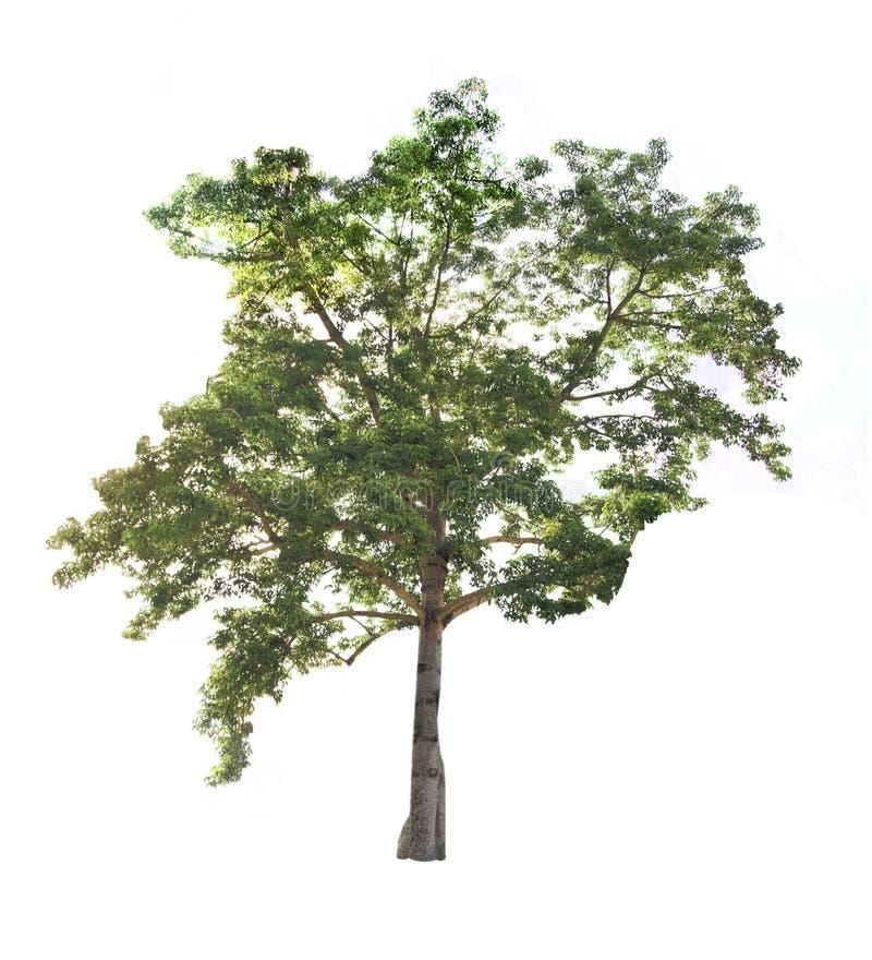 Stort träd på den vita bakgrundsisolaten arkivfoto