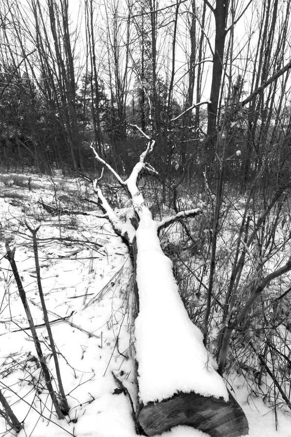 Stort träd som ner klipps och ligga i en skog som täckas med vintersn royaltyfri foto