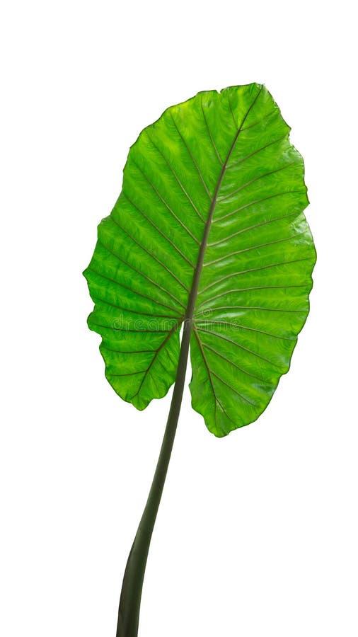 Stort tropiskt grönt blad, philodendron, elefantöra, i regnskogdjungeln som isoleras på vit bakgrund royaltyfri fotografi