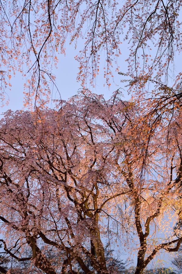 Stort upplyst körsbärsrött träd i Tokyo, Japan royaltyfri foto