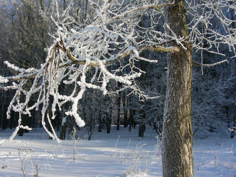 Stort vinterträd i sikt för rimfrostställningsprofil fotografering för bildbyråer
