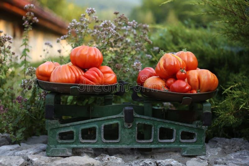 Stos czerwoni soczyści pomidory na scalepan obraz royalty free