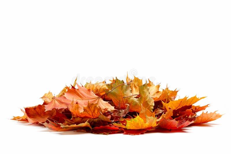 Stos jesień barwiący liście odizolowywający na białym tle Rozsypisko różnego klonu suchy liść Czerwoni i kolorowi ulistnienie kol fotografia stock