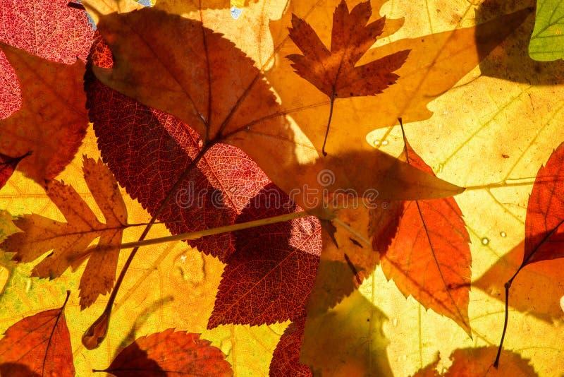 Stos kolorowi jesień liście klonowi, tło, tekstura zdjęcie royalty free