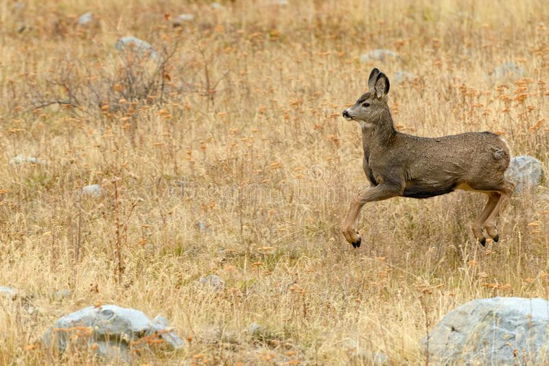 Stotting North West White Tailed Deer Odocoileus virginianus i stock image