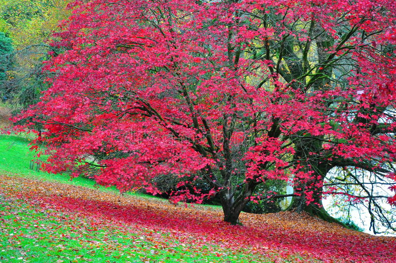 Stourhead-Garten - See und Acer - Autumn Colours stockfotos
