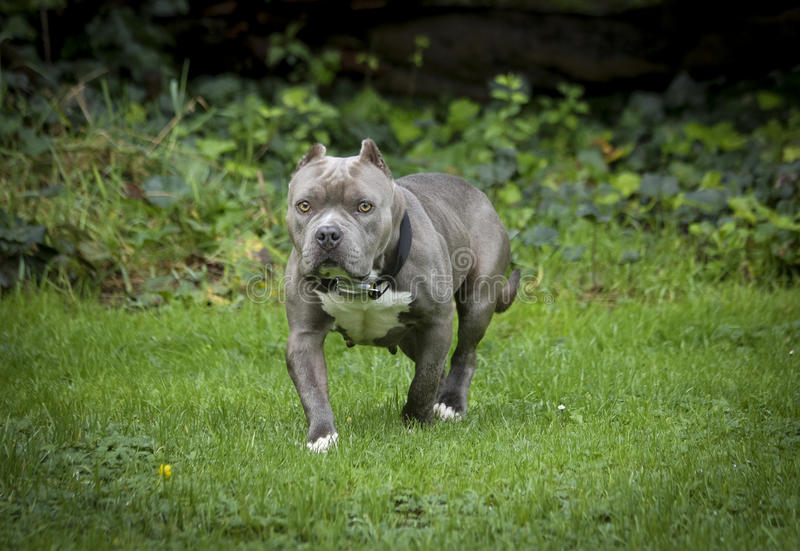 Stout blauwe neus die pitbull op een gebied stellen royalty-vrije stock fotografie