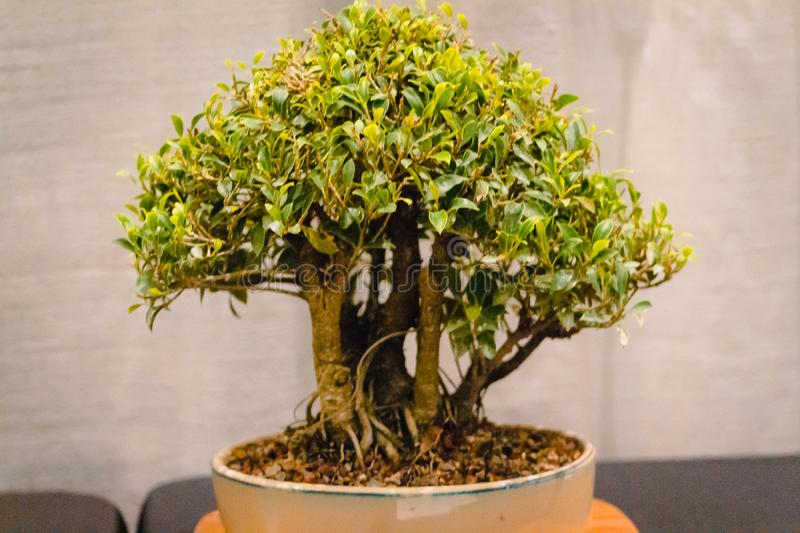 Stout bonsai tree on display at a show at the Frederik Meijer Gardens in Grand Rapids Michigan. Stout bonsai tree on display at a bonsai show at the Frederik stock photography
