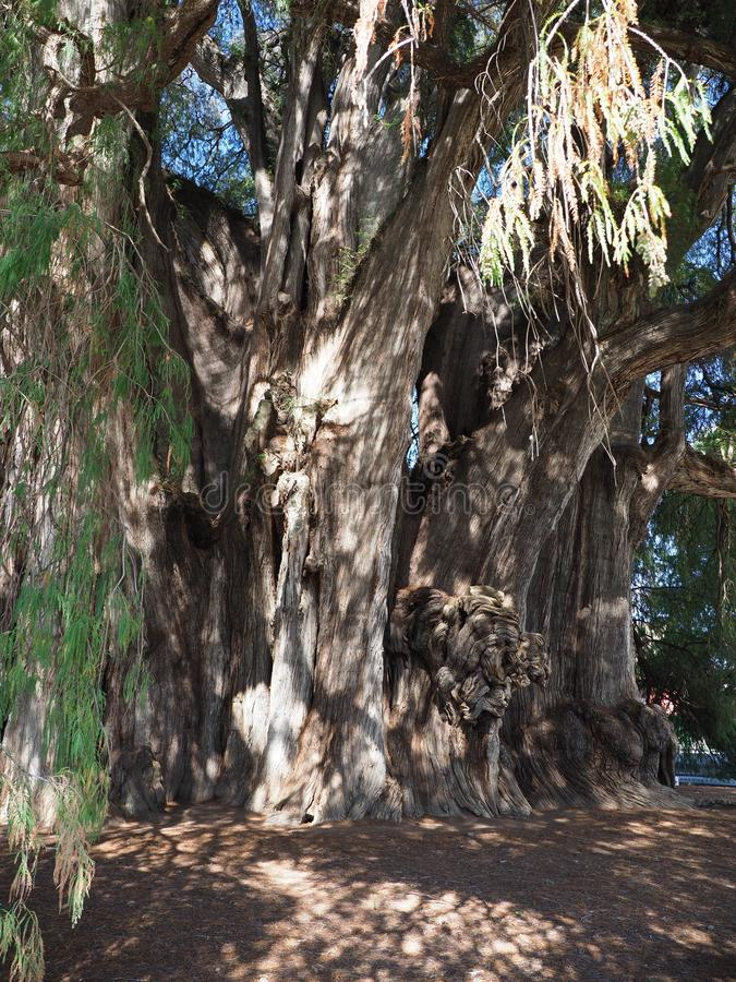 Stoutest Stamm der Welt des Aufregens des Montezuma-Zypressenbaums an Santa Maria del Tule-Stadt in Mexiko - Vertikale stockbilder