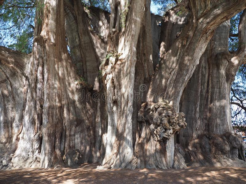 Stoutest trunk of the world of huge Montezuma cypress tree at Santa Maria del Tule city in Mexico. At state of Oaxaca, clear blue sky in 2018 warm sunny winter stock photo