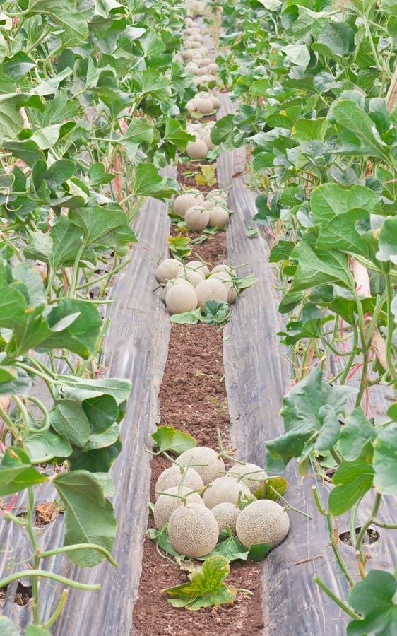 Stow zbierający Japońscy melony obraz stock