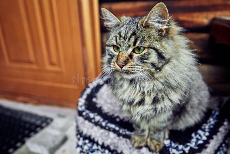 Sträng och allvarlig katt som strängt ser Vänta på den högdragna värden och själv-husdjuret arkivbild