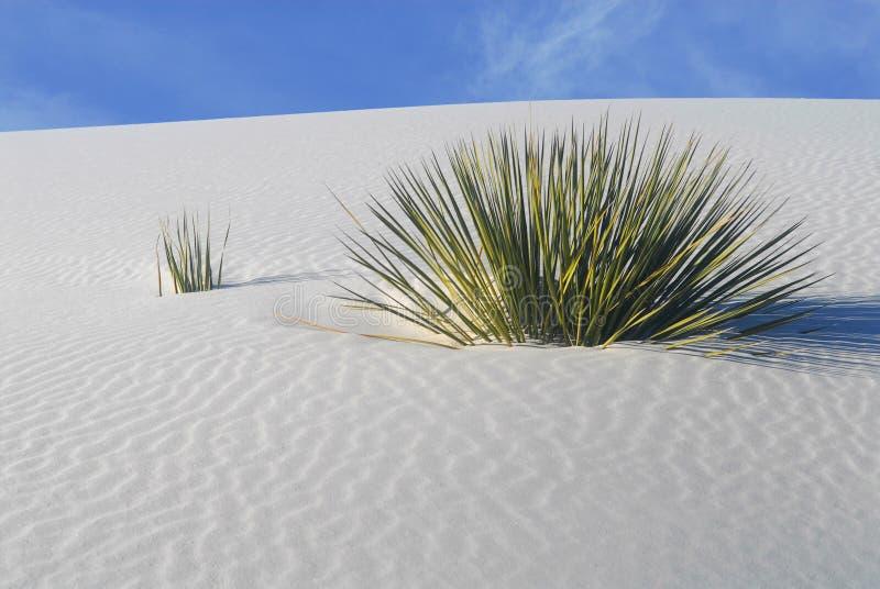 Sträuche, die in den weißen Sanddünen wachsen lizenzfreie stockfotos