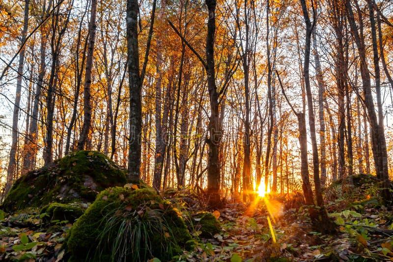 Strålar av inställningssolen att göra deras väg till och med den gjorda tunnare höstskogen arkivbild