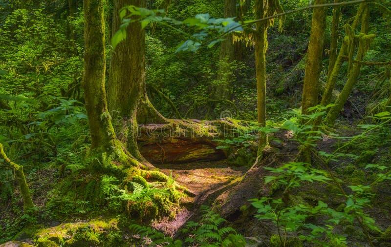 Strålar för sol` s gör ljusare den skuggiga skogsbevuxna smaragdskogen royaltyfri fotografi