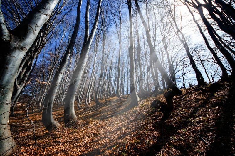 Strålar i bokskogen arkivfoton