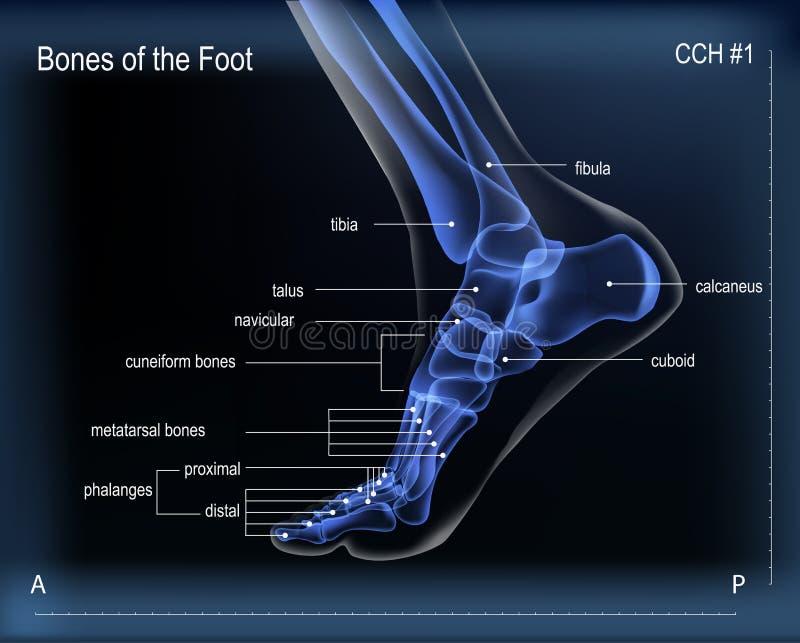 Stråle x av ben av fot Medial sikt vektor illustrationer