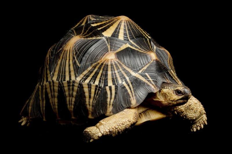 strålningssköldpadda royaltyfri foto