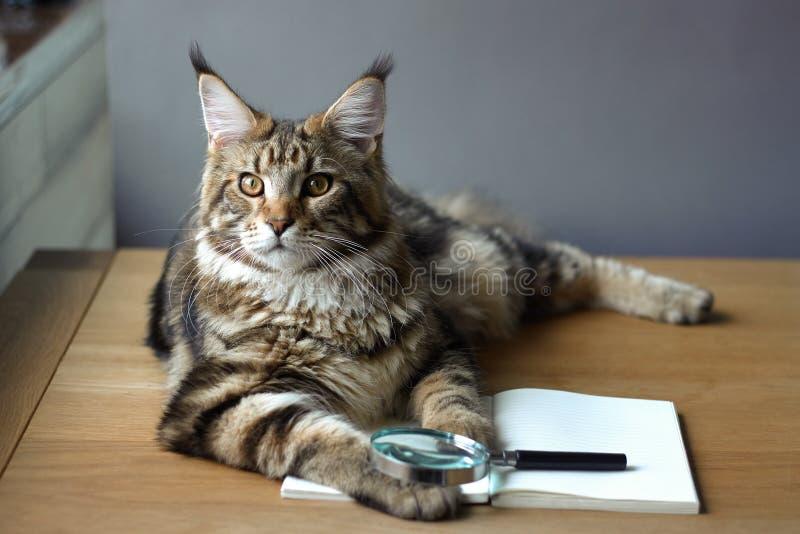 Strålporträtt av Maine Coon-katt ligger på ett träbord på en öppen bärbar dator och ett förstoringsglas, selektivt fokus,  royaltyfri foto
