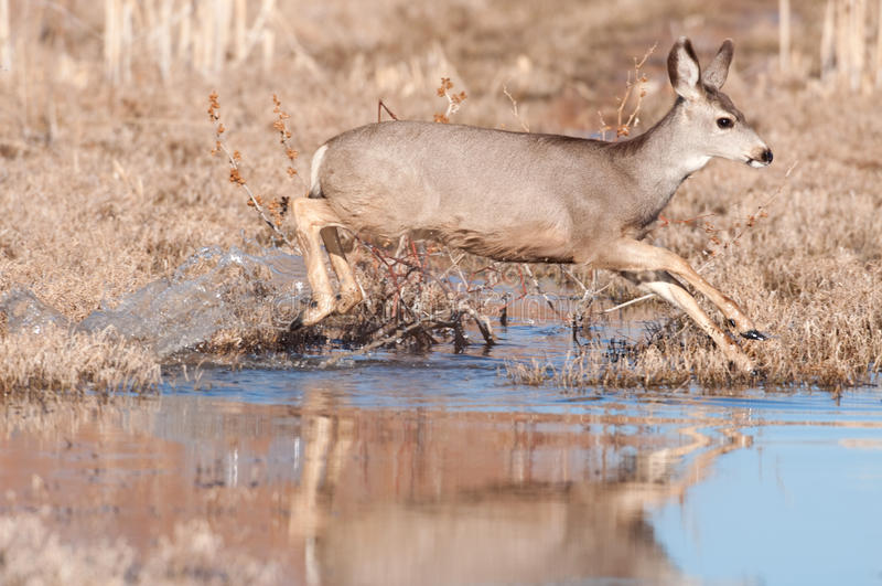 ström för mule för crossinghjortdoe fotografering för bildbyråer