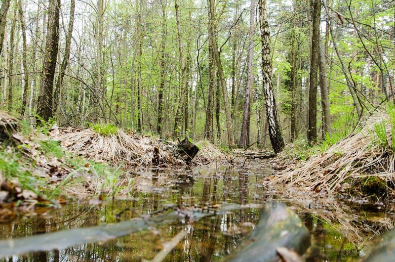 Strömen Sie in den Sümpfen im Kiefernwald lizenzfreies stockbild