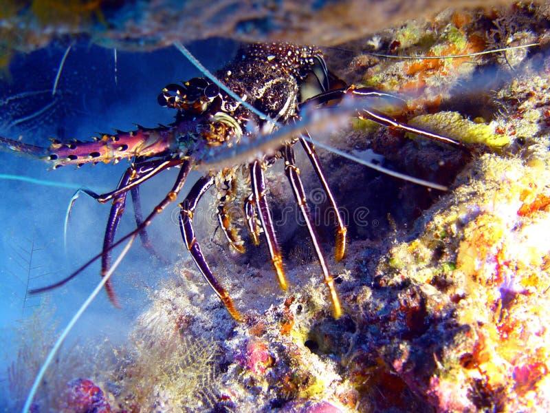 strömförande undervattens- hummerhav för mat royaltyfri foto