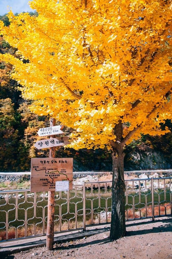 Strömma det gula höstginkoträdet på Baekdudaegan bergskedja arkivbilder