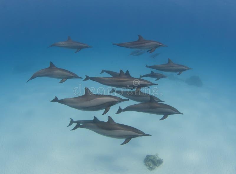 Strąk kądziołków dzicy delfiny zdjęcie royalty free