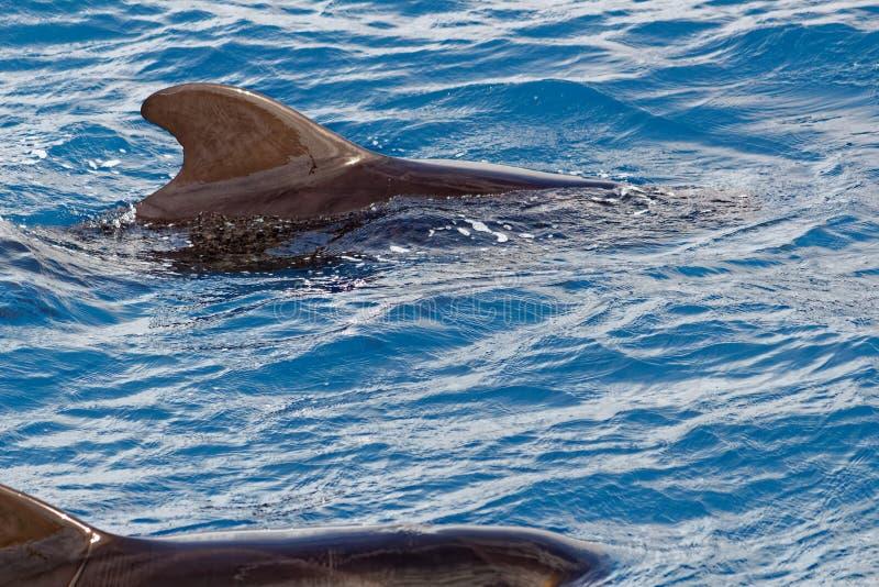 Strąk Krótki użebrowany pilotowy wieloryb z wybrzeża Tenerife, Hiszpania obraz stock