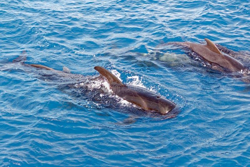 Strąk Krótki użebrowany pilotowy wieloryb z wybrzeża Tenerife, Hiszpania obrazy royalty free